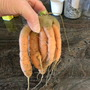 funny carrot (Daucus carota (Carrot))