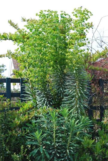 Euphorbia for Dawn.... (Euphorbia characias (Spurge) Wulfenii)