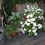 plants on the patio (Erigeron karvinskianus (Fleabane) Hosta Impatiens wallerana)