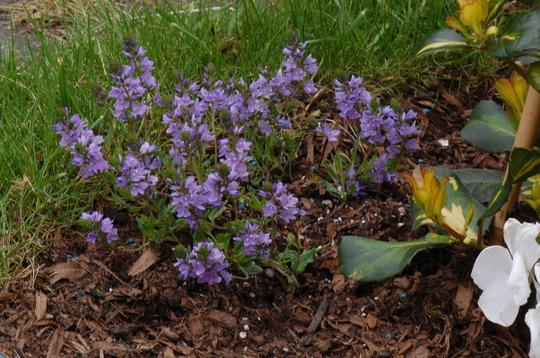 Veronica prostrata 'Lilac Time'. (Veronica prostrata)