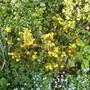 Mahonia_aquifolium_apollo.jpg