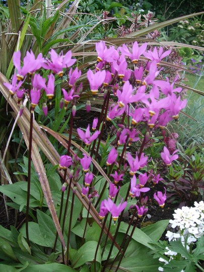 Clump of Dodecatheon (Dodecatheon clevelandii (Shooting star))