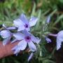 Phlox divaricata 'Chattahoochee' (Phlox divaricata (Blue Phlox))