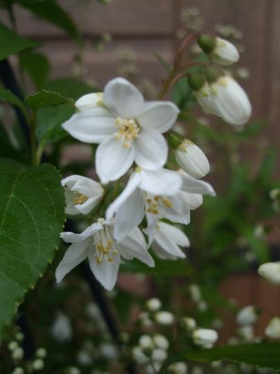 Deutzia gracilis (Deutzia gracilis)