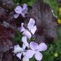 Lunaria rediviva 'Corfu Blue' (Lunaria rediviva (Ausdauendes Silberblatt))