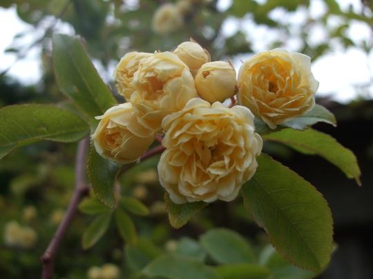 Rosa banksiae 'Lutea' (Rosa banksiae 'Lutea')