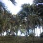 Howea belmoreana - Sentry Palms  (Howea belmoreana - Sentry Palm)