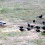 Mallard Duck and Blackbirds