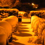 buxus in snow at night (Buxus sempervirens (Common box))