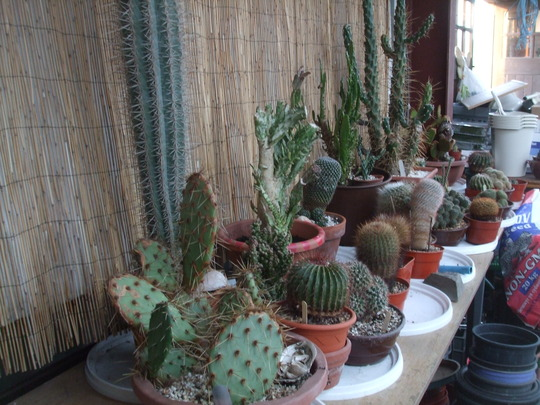 cactus have made it throught the winter....