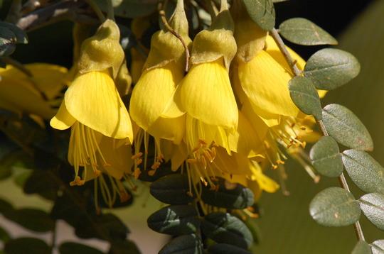 Sophora microphylla 'Sun King' (Sophora macrophylla)