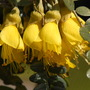 Sophora
