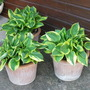 The Thirteen year Old Hostas