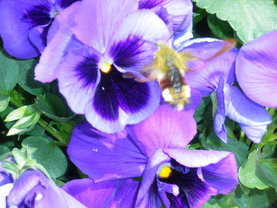 Close up on the Pansy
