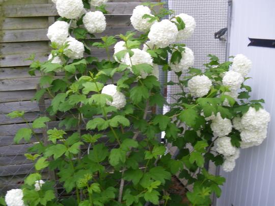 The Snowball Tree......