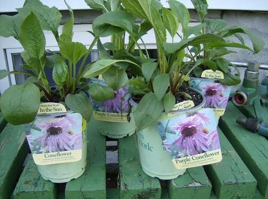 "Purple Cone Flower - echinasia purpurea  "" Double Deker """