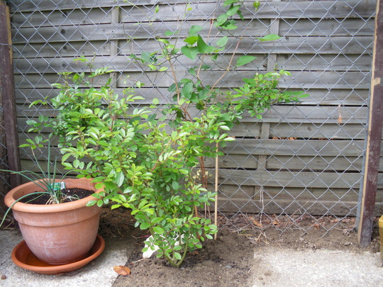 New Space created for a Climbing Rose & Clematis