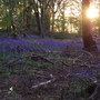 073_sunset_bluebells_11_may_10