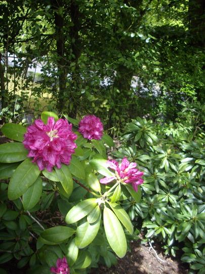 Rhododendron (Magenta flower) (Rhododendron)