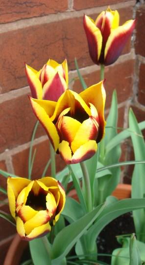 Tulip 'Triumph Gavota' - May 2010