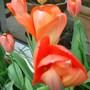 Tulip 'Orange Breeze' - May 2010 (Tulipa fosteriana)