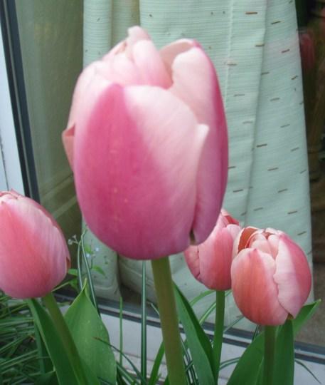 Tulip 'Ollioules' - May 2010 (Tulipa Darwin hybrid Ollioules)