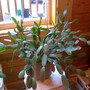 Easter_cactus