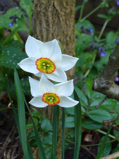 last of the season (Narcissus poeticus Pheasant's eye)