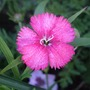 Single_dianthus