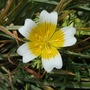 Poached Egg flower (Limnanthes douglasii (Poached egg plant))