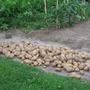 potato harvest (Solanum tuberosum (Salad potato))
