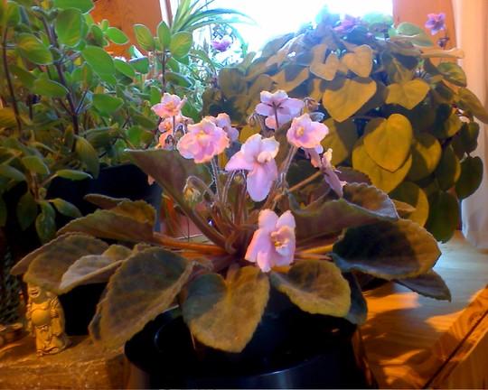 african violet may4 (Saintpaulia ionantha)