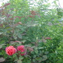 Rose with White Honeysuckle in Back