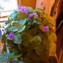 starting it's blooming (Saintpaulia ionantha)