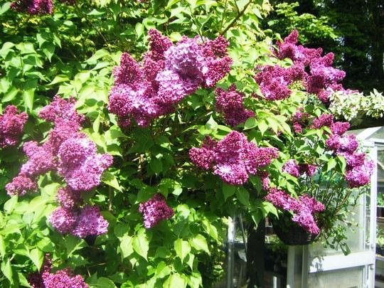 The Star of my garden (Syringa)