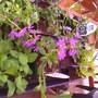 New_plants_tray_scaevola_aemula