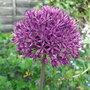 Allium_azureum_2010