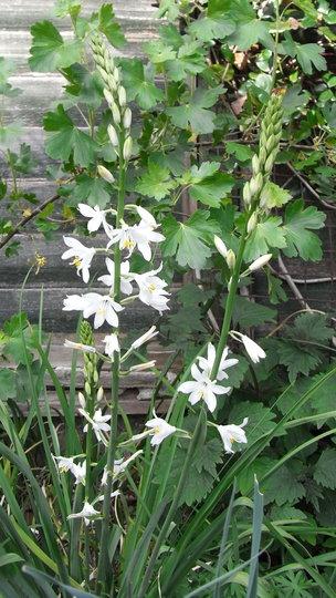 Anthericum liliago 'Major' - 2010 (Anthericum liliago 'Major')