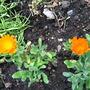 Pot Marigold (Corn Marigold)