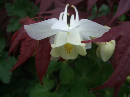 White Aquilegia (Aquilegia)