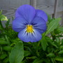 Another Viola