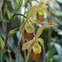 A slipper orchid