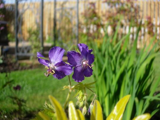 Geranium Phaeum 'Lily Lovell' (Geranium phaeum (Mourning widow))