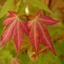 Acer 'Sango Kaku' (Acer palmatum (Japanese maple))
