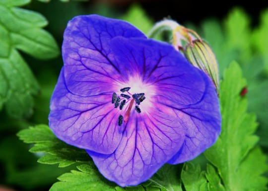 Geranium Johnson Blue (?)