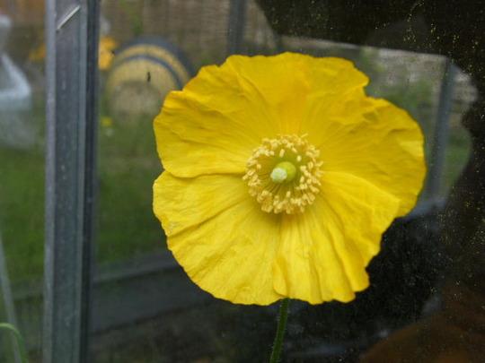 self sown californium poppy ( I think)