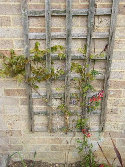 wisteria and glory vine