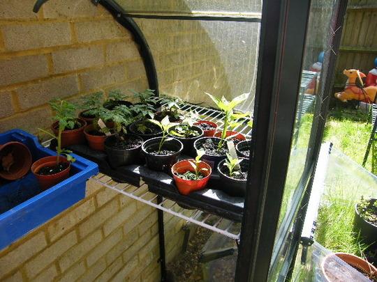 chilli and pepper seedlings