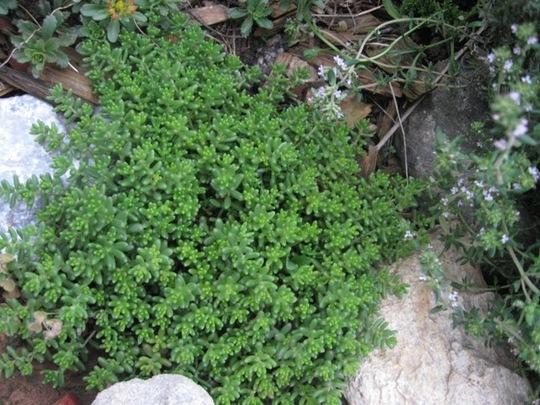 Some more succulents.... Sedum