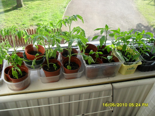 tomatoes and chillies in window